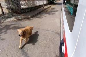 Chú chó trung thành chạy theo xe cấp cứu đưa chủ đi viện