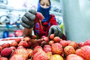 CLIP: Xuyên đêm đóng gói vải đưa sang Trung Quốc tiêu thụ