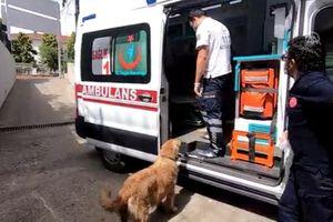 Xúc động chú chó trung thành chạy theo xe cấp cứu đưa chủ đi viện
