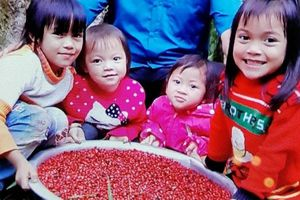 Lý do Quảng Nam đề xuất chương trình quốc gia phát triển Sâm Ngọc Linh?