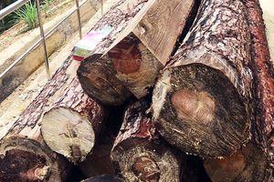 Bị xử phạt gần 300 triệu đồng vì cưa hạ 3 cây thông ba lá