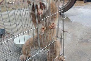 Ba Chẽ: Người dân giao nộp một con cu li để thả về môi trường tự nhiên