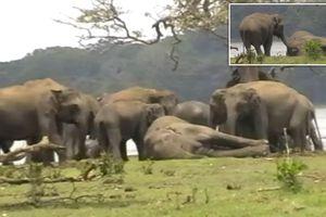 Xúc động khoảnh khắc đàn voi hơn 300 con tụ tập quanh xác chết con đầu đàn, bảy tỏ lòng kính trọng