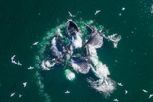 Cá voi lưng gù săn mồi bằng bong bóng ở Australia
