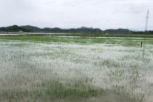 Hơn 12.000 ha lúa hè thu chìm trong nước lũ, nông dân bất an