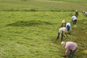 Hơn 15ha lúa xuân sắp thu hoạch tại Hải Phòng bị đổ do bão Koguma