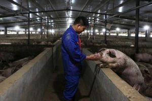 Trung Quốc tinh chỉnh hệ thống dự trữ thịt lợn
