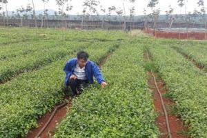 Gia Lai cần 5.200 tỷ phát triển cây dược liệu