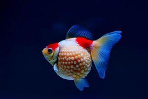Nghệ thuật nuôi cá vàng nức tiếng ở Phúc Kiến của Trung Quốc