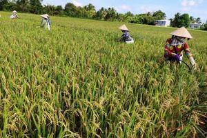 Nông dân lại lo giá lúa giảm!