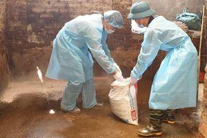Huyện Chương Mỹ tiêu hủy 20 con lợn mắc bệnh Dịch tả lợn châu Phi