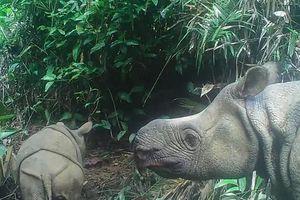 Tin vui từ quần thể duy nhất còn lại của loài tê giác một sừng