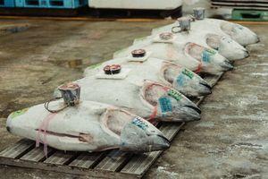 Nơi bán cá ngừ tươi sống cho nhà hàng sao Micheline ở Mỹ