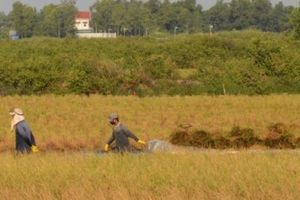 Hậu Giang: Chủ động giảm nhanh diện tích canh tác lúa kém hiệu quả