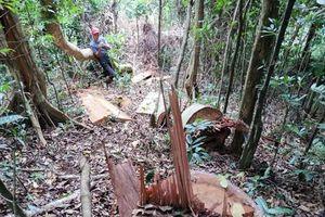 Chính phủ yêu cầu Gia Lai báo cáo xử lý vụ phá rừng trước 30/6