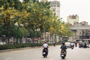 Ngắm hoa muồng hoàng yến 'nhuộm vàng' góc phố Hà Nội