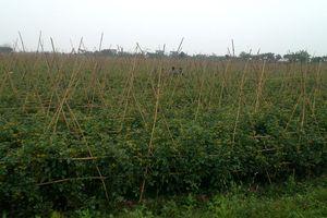 Nông dân Bắc Hồng thi đua chuyển đổi cơ cấu cây trồng có giá trị kinh tế cao