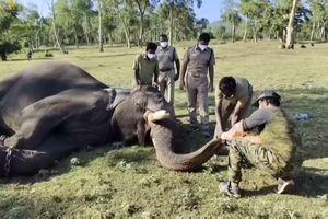 Đàn voi Ấn Độ bị nghi mắc Covid-19