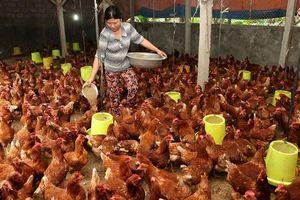 Nâng chất lượng chuỗi liên kết chăn nuôi