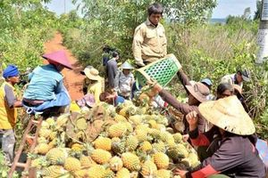 Gia Lai: Nông dân trồng dứa 'hụt hơi' vì không có nơi tiêu thụ