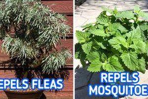 Những loại cây trồng vừa đẹp nhà vừa đuổi muỗi hiệu quả
