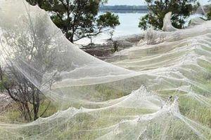 Nổi da gà trước mạng nhện khổng lồ kinh hoàng ở Úc