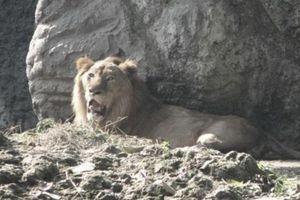 Hết chuyện đi 'ghẹo' sư tử, 'đệ tử Lưu Linh' gặp may lớn