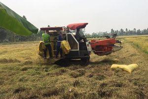 Giá lúa gạo hôm nay 16/6: Thương lái ngưng đặt cọc, giá lúa Hè thu giảm