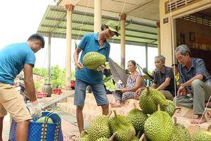 Trồng sầu riêng - hướng đi mới cho nhà vườn huyện Châu Thành