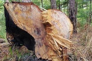 Điều tra vụ phá rừng dưới chân núi Voi
