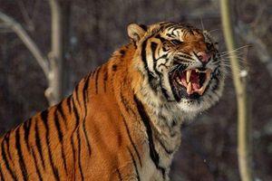 Hổ Siberia lao qua hàng rào điện, cắn chết một người trong công viên