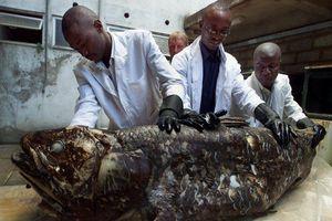 Loài cá 'hóa thạch sống' mang thai suốt 5 năm