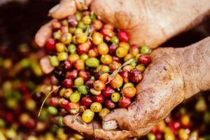 Giá cà phê hôm nay 18/6: Quay đầu giảm nhẹ 200 đồng/kg