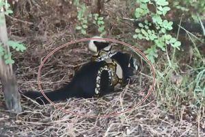 Trăn hung dữ quấn chặt mèo đen đến ngất xỉu, phải 'hồi sinh tim phổi' gấp
