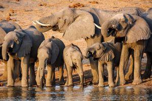 Mỏ dầu đe dọa cuộc sống của 130.000 con voi ở Botswana và Namibia