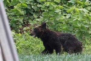Gấu hoang lộng hành ở Nhật Bản