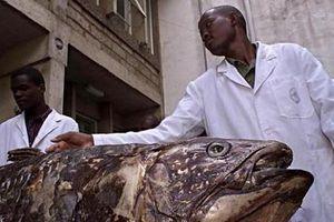 Kỳ dị loài cá 'hóa thạch sống' khổng lồ, thọ tới 100 tuổi, mang thai dài 5 năm