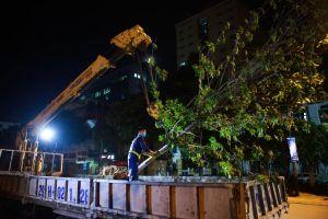 Hà Nội thay thế toàn bộ hàng phong lá đỏ trên phố Nguyễn Chí Thanh - Trần Duy Hưng
