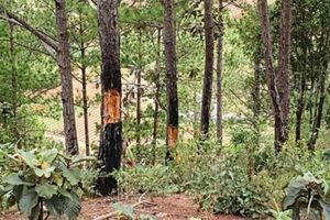 'Thả cửa' cho lâm tặc phá rừng, dự án sân golf tại Lâm Đồng bị thu hồi