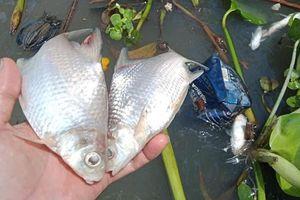 2 tấn cá chết trên sông ở Cần Thơ