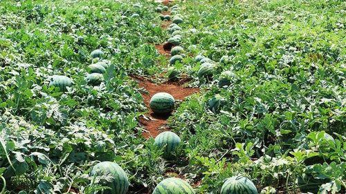 Xuất khẩu hạt giống dưa hấu Việt Nam qua Nhật Bản