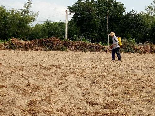 Phun thuốc cỏ tùy tiện, vấn nạn ở Phú Yên