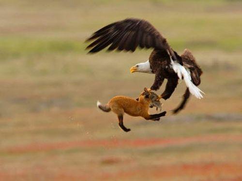 Ảnh động vật: Đại bàng đầu trọc giành mồi với cáo, bơi cùng sứa 'khủng'...