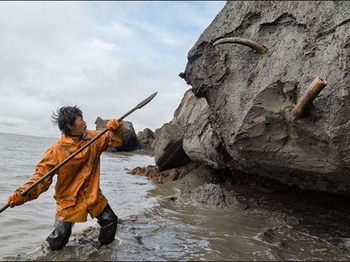 Cơn 'sốt' săn ngà voi ma mút ở Nga