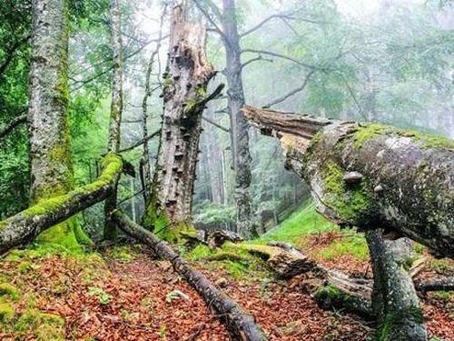 Phát hiện 'cụ' sồi trường thọ từ thời Trung Cổ, cách đây hơn 500 năm