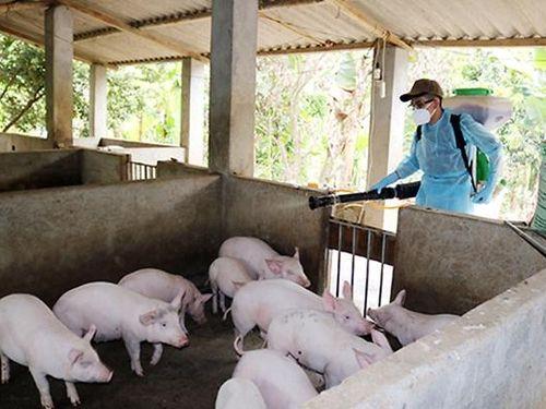 Các địa phương tích cực dập dịch tả lợn châu Phi