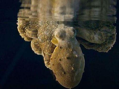 Hình ảnh cực hiếm của bạch tuộc khi… nằm mơ