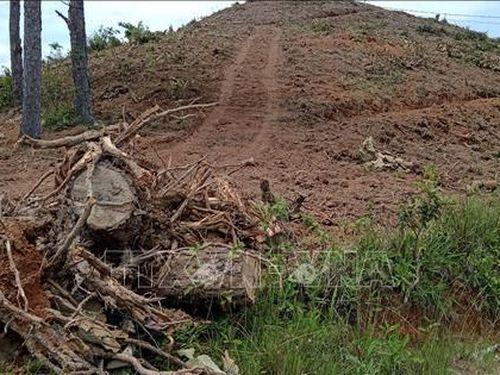 Rừng thông tại Lâm Hà tiếp tục bị đốn hạ