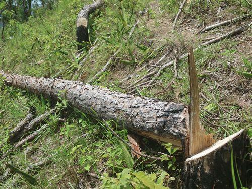 UBND tỉnh Lâm Đồng chỉ đạo điều tra vụ 'cạo trọc' rừng thông lấy đất sản xuất
