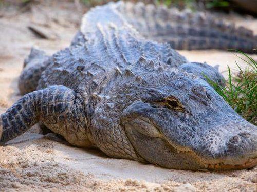 Bắt đối tượng ép cá sấu uống bia và dụ cắn người